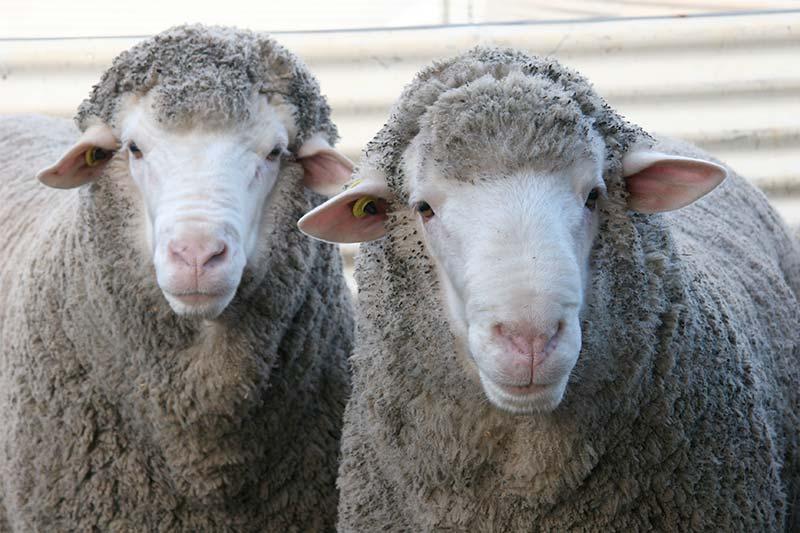 2 sheepo